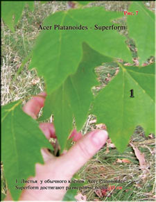 Acer Platanoides (Клён)
